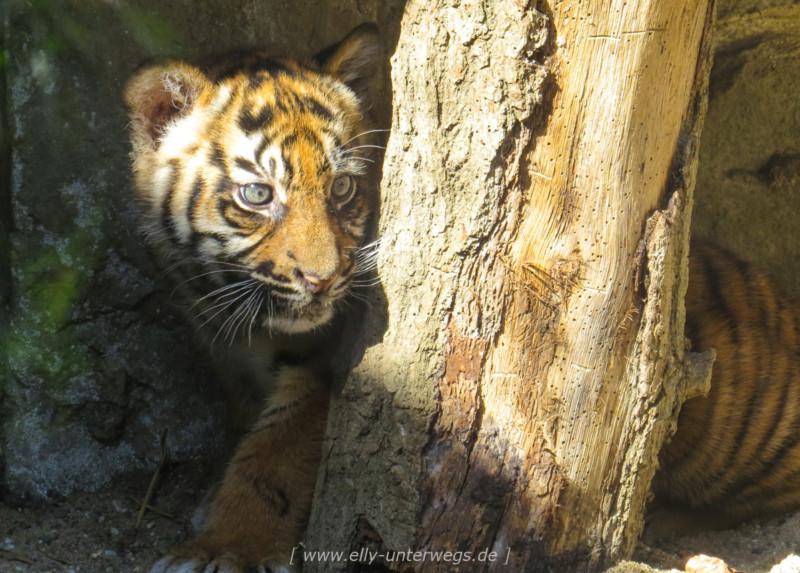 Die 3 Sumatra – Tigerbabys vom Naturzoo Rheine