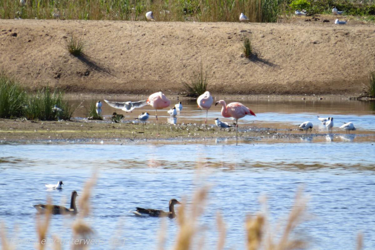 Der Zwillbrocker Venn: Der nördlichste Flamingo-Brutplatz der Welt